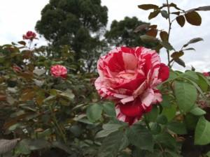 障害福祉サービス舞子事業所/薔薇